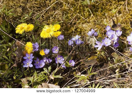 tussilago farfare and blue anemones blossoming in spring