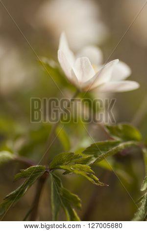 a blossoming wood anemone or thimbleweed (anemone nemorosa)