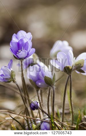 blossoming blue anemones in the early spring