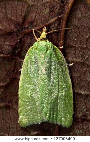 Green oak tortrix (Tortrix viridana) micro moth from above. Small British insect in the family Tortricidae, in the order Lepidoptera, at rest