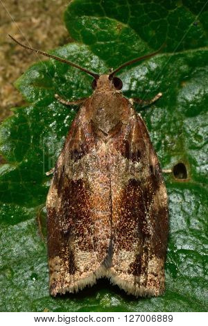 Variegated golden tortrix (Archips xylosteana) micro moth. Small British insect in the family Tortricidae, in the order Lepidoptera, at rest