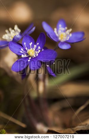 blue anemones blossoming in the early spring