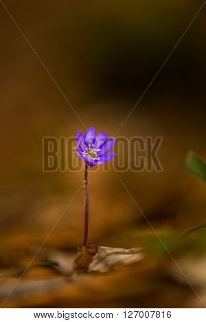 Artistic blur effect of beautiful wild blue jewel flowers, Hepatica transsilvanica in the forest, on a sunny spring day