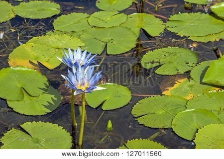 Blue Lotus Flowers With Lilly Pads On Pond