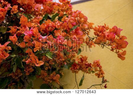 It is an ornamental plant growing in the old town of Menton street called bougainvillea.