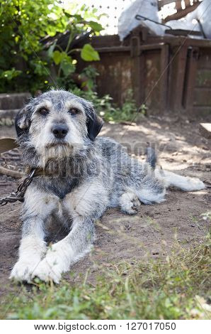 Young funny schnauzer puppy with grey color fur and smart brown eyes lying on ground outdoor on chain