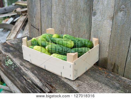 Fresh eco cucumbers in wooden box in the garden