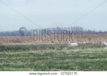 White sheep grazing on farm pasture with long grass ** Note: Visible grain at 100%, best at smaller sizes