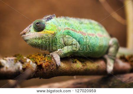 Close-up portrait of a panther chameleon (Furcifer pardalis).