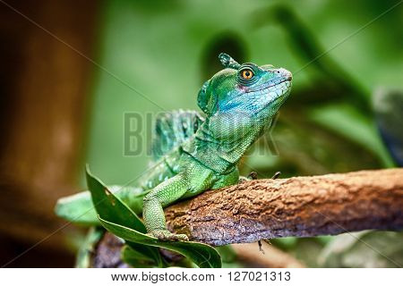 Close-up view of a green Plumed basilisk (Basiliscus plumifrons).