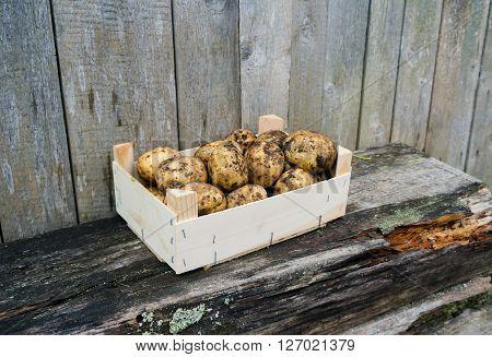 Fresh eco potatoes in wooden box in the garden