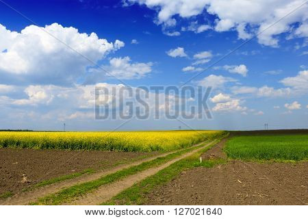 A vast field of blooming canola under a bright blue sky and beautiful white clouds