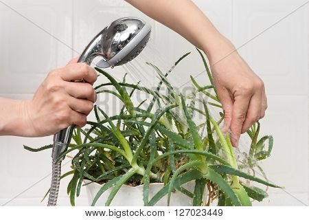 hands pouring from the shower aloe plant to clean dust off and hydrate it