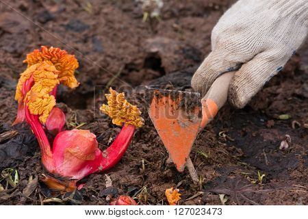 hands weeding garden bed with rhubarb in the vegetable garden closeup