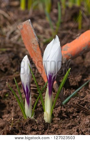 weeding of flower bed with crocuses in the garden