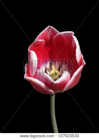Tulip flower 'Olga' on a black background.