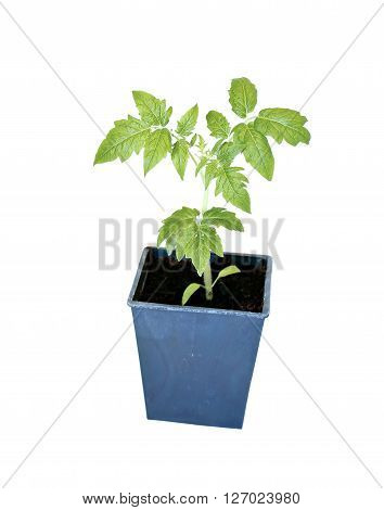 Young plant tomato seedlings in flowerpot isolated on white background