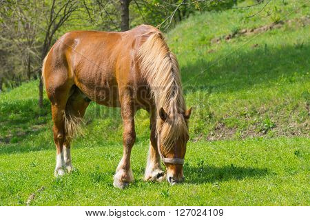 Lonely draft horse on a spring pasture