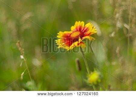 Beautiful feral Indian blanket flower in a summer wild field