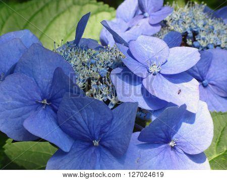 Blue Hydrangea flowers (Hydrangea macrophylla) in a garden in summertime