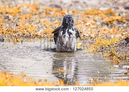 gray crow bathes in a spring puddle