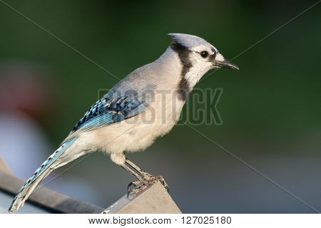 Blue Jay (Cyanocitta cristata) perched on a post in Spring