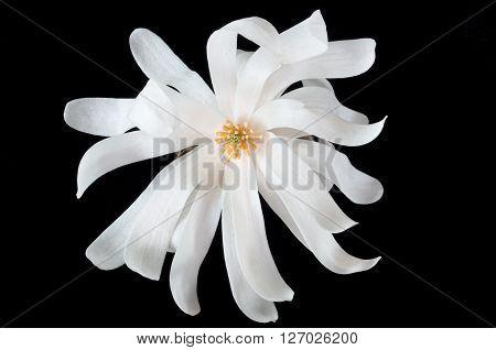 closeup of magnolia flower or magnolia alba isolated against black background