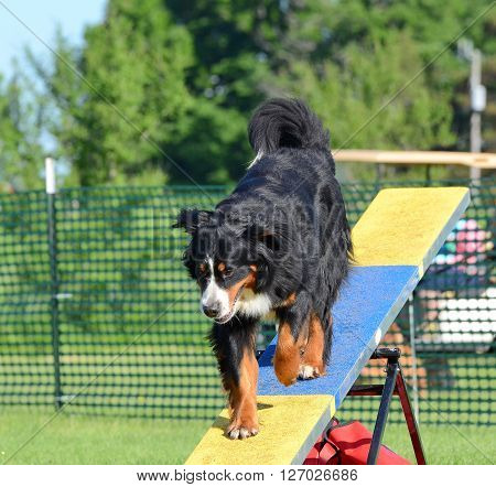 LAKE ELMO, MN - JUNE 8 2016: Bernese Mountain Dog on a Teeter-Totter at Dog Agility Trial