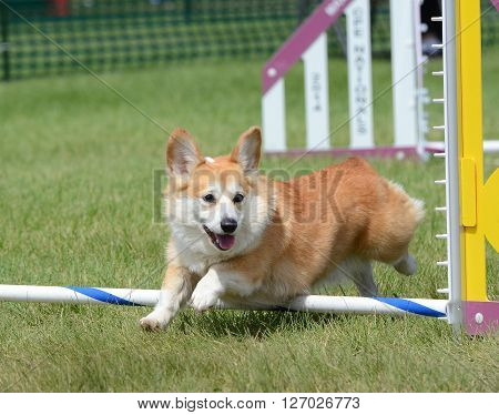 LAKE ELMO, MN - JUNE 8 2016: Pembroke Welsh Corgi Leaping Over a Jump at a Dog Agility Trial