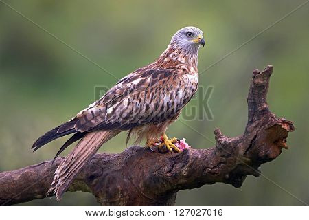 Red kite sitting on a branch with raw meat in its claws