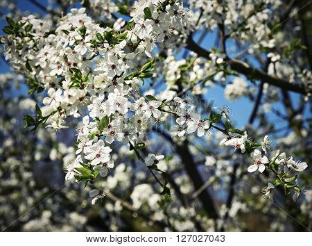 Spring blossoming white flowers of fruit tree crown