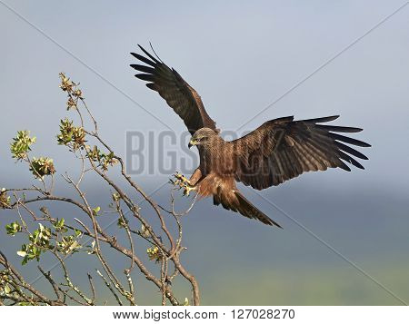 Black kite with open wings landing on a branch