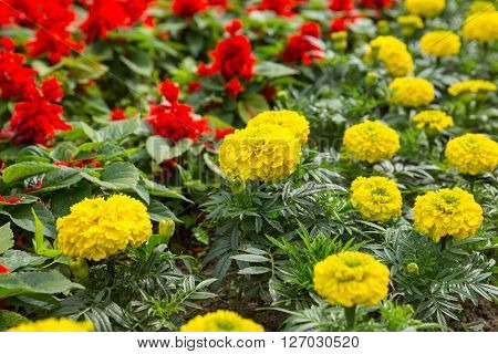 Floral background - yellow Tagetes and red Salvia