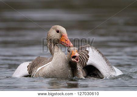Greylag geese fighting in water in their habitat