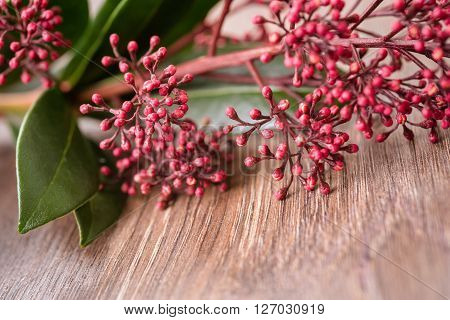 plant pink skimmia on the wooden background