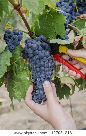 farmer harvesting the grapes to make wine