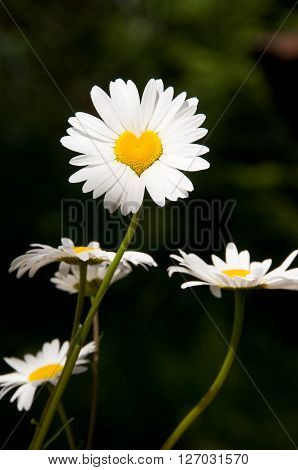 A daisy shaped as a heart. Consept of love. Loves me Loves me not.