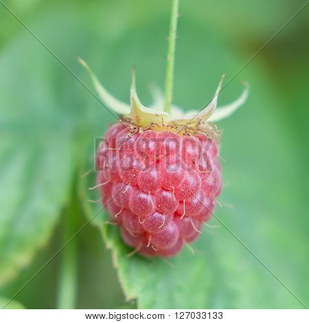 A ripe berry of red raspberry close-up.