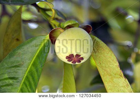 Developing Mangosteen fruit Garcinia Mangostana in Thailand.