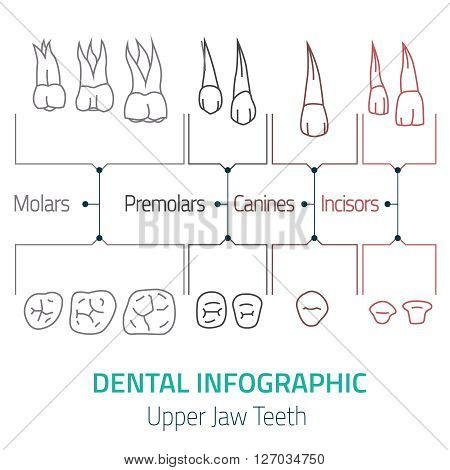 Human teeth dental infographic. Editable vector illustration with upper jaw teeth. Medical image on a white background useful for poster, leaflet or brochure graphic design.