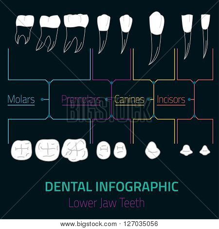 Human teeth dental infographic. Editable vector illustration with Lower jaw teeth. Medical image with white teeth in modern style useful for poster, leaflet or brochure graphic design.