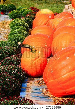 A group of orange pumpkins on a pumpkin patch.