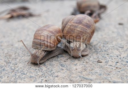 burgundy snail (Roman snail edible snail escargot) (Helix pomatia) on the road