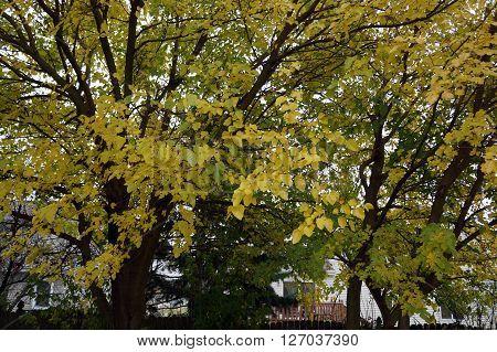 Yellow fall foliage of white mulberry trees (Morus alba) in Joliet, Illinois during November.
