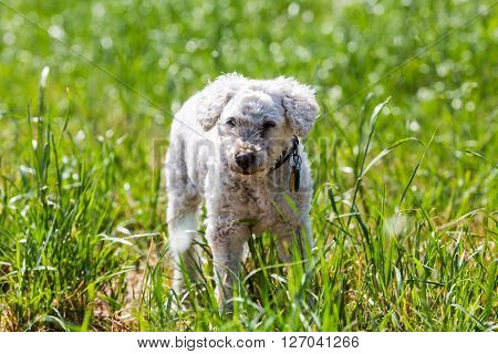 Details of a white shelter poodle on a meadow