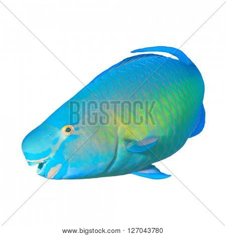 Tropical fish: Steephead Parotfish isolated on white background