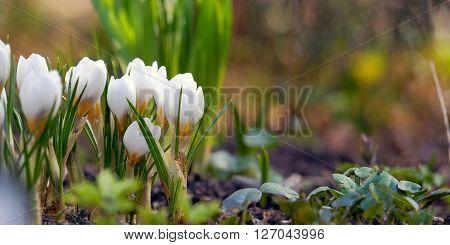 Crocuses beautiful snowdrops in spring. Crocuses in late winter