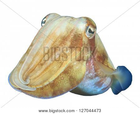 Living underwater cuttlefish isolated white background