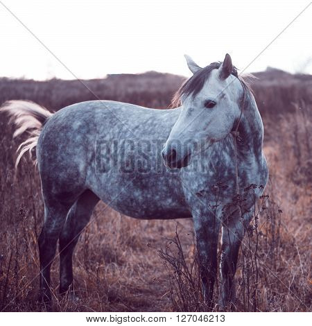 Beautiful gray horse in the field, without his harness.