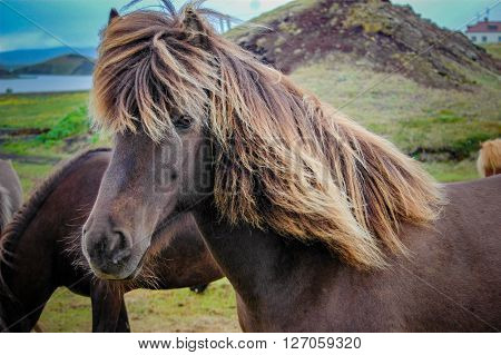 An Icelandic horse on a farm with a long mane that is blowing in the wind.